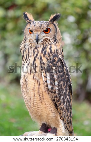Indian eagle-owl, also called the rock eagle-owl or Bengal eagle-owl, Bubo bengalensis, - stock photo