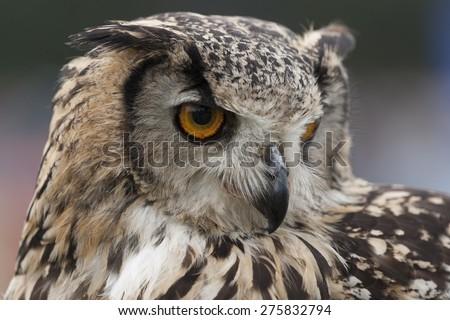 Indian Eagle Owl portrait showing it's curved beak and large eyes - stock photo