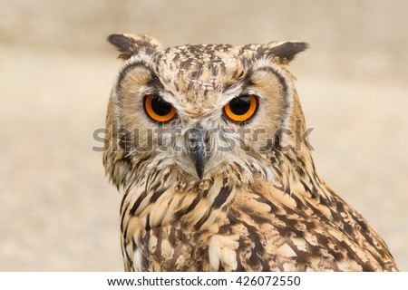 Indian Eagle Owl  staring at the camera  - stock photo