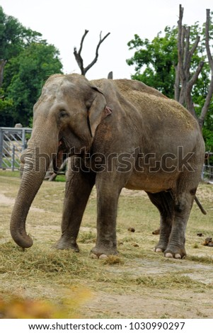 Indian elephant in captivity in natural environment at the ZOO in Prague, Czech Republic.