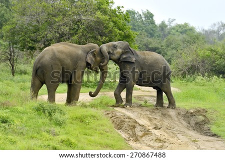 Indian elephant in the savannah of Sri Lanka - stock photo