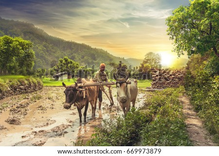 Indian Farmer Plowing Rice Fields Pair Stock Photo (Royalty Free) 669973879 - Shutterstock