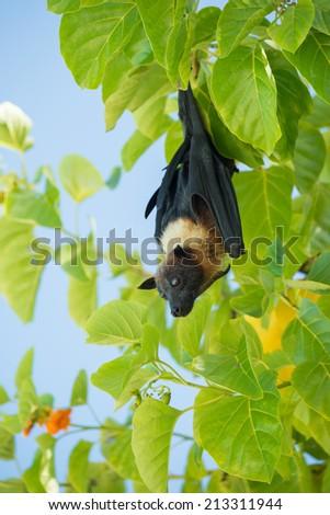 Indian flying fox, Greater Indian fruit bat (Pteropus giganteus) - stock photo