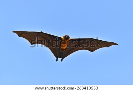 Indian flying fox in the wild on the island of Sri Lanka