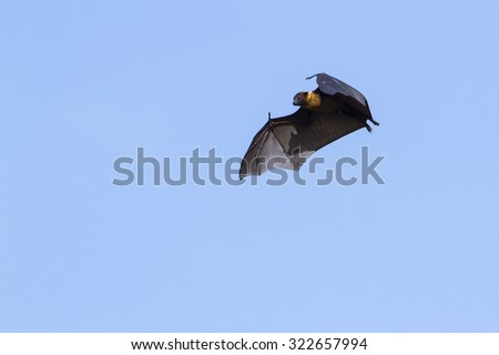 Indian flying fox in Yala national park, Sri Lanka ; specie Pteropus giganteus isolated in blue sky