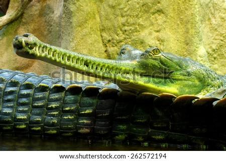 Indian gavials - stock photo
