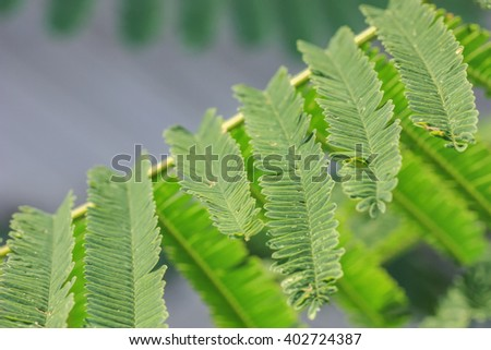 Indian gooseberry leaves