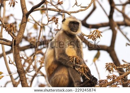 Indian Gray langurs or Hanuman langurs Monkey (Semnopithecus entellus) sat in a tree - stock photo