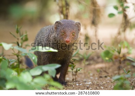Indian gray mongoose in Minneriya national park, Sri Lanka ; specie Herpestes edwardsii - stock photo