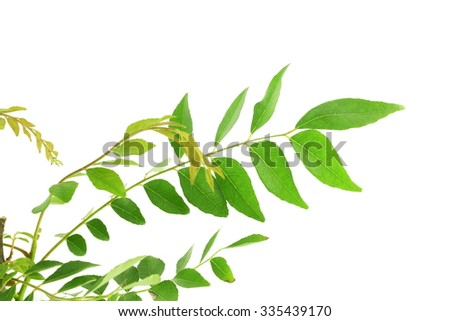indian herb curry patta leaves in white background - stock photo