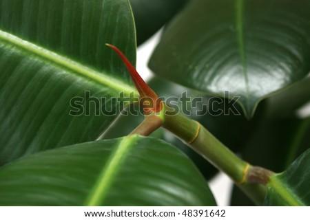 Indian houseplant Ficus elastica (rubber bush) closeup - stock photo