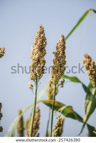 Indian Jowar crop. Close up shot. - stock photo
