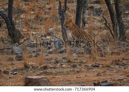 Indian leopard, Panthera pardus fusca hidden in typical dry environment of Ranthambore national park, India. Wildlife in India.