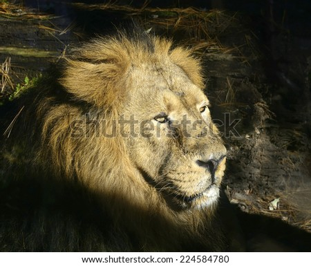 Indian Lion - Panthera leo Persica, the latest Asian Lion - stock photo