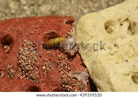 Indian Meal Moth larva - stock photo