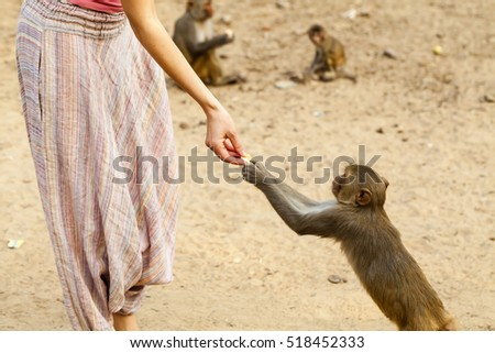 Indian monkey takes food from human hands