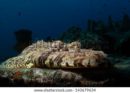 indian ocean crocodilefish (papilloculiceps longiceps) - stock photo