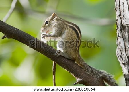 Indian palm squirrel in Minneriya national park, Sri Lanka ; specie Funambulus palmarum  - stock photo