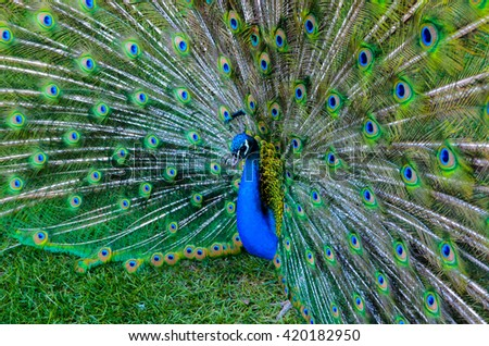 Indian peacock showing his tail  - stock photo