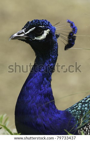 Indian Peafowl (Pavo cristatus) - stock photo