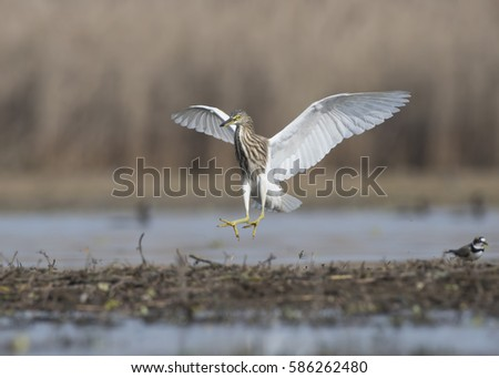 Indian pond heron flying