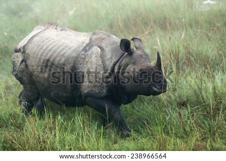 Indian rhino -rhinoceros unicornis- at dawn wandering the grasslands that border the Rapti river in the bufferzone off the Chitwan Nnal.Park in the Terai area. Chitwan district-Narayani zone-Nepal.