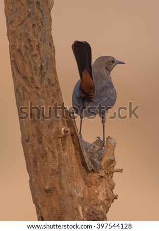 Indian Robin Bird perched on a small branch with smooth brown background - stock photo