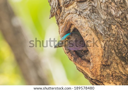 Indian roller(Coracias benghalensis) coming out from her house - stock photo