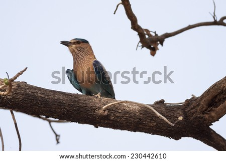 Indian Roller (Coracias benghalensis) perched on a branch - stock photo