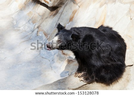 indian sloth bear in stone ravine in summer day - stock photo