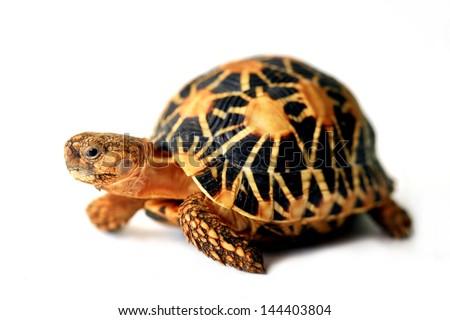 Indian star tortoise - stock photo