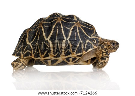Indian Starred Tortoise in front of a white backgroung - stock photo