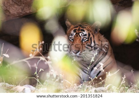 indian tiger in a cave hidden behind a bush - national park ranthambore in india - rajasthan - stock photo