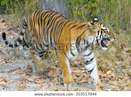 Indian tiger in the wild. Royal Bengal tiger ( Panthera tigris ) in national park of India - stock photo