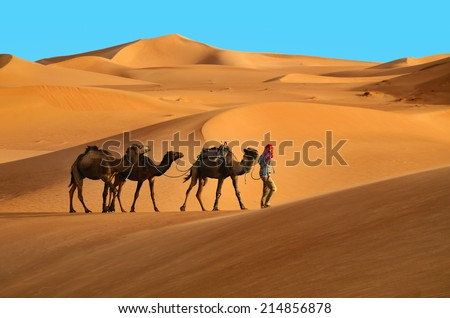 Indigenous berber man with three dromedary camels travelling in Sahara desert.