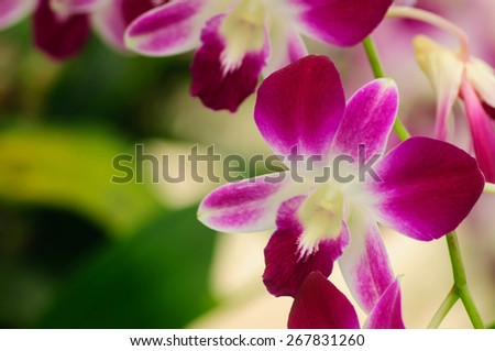 indigenous flora of tropically beautiful orchid,naturally existing in Thailand - stock photo