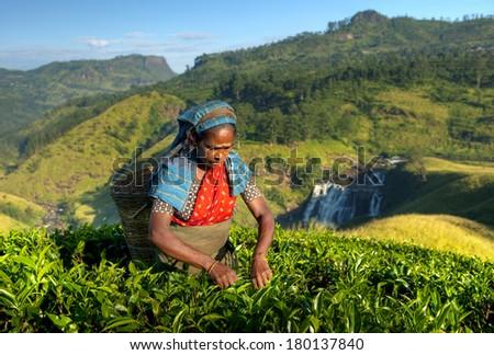Indigenous Sri Lankan Tea Picker Picking Leaves - stock photo