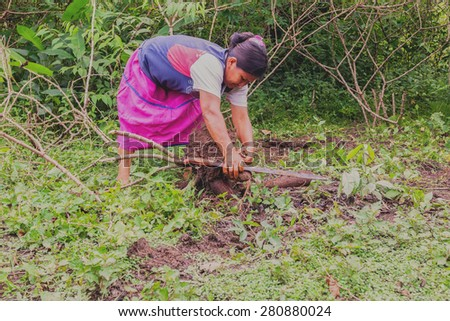 Indigenous Woman Picking Yucca From The Garden To Prepare Yucca Bread Cassava