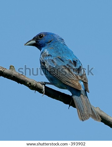 indigo bunting perched on branch - stock photo