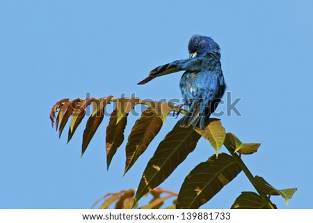 Indigo Bunting preening feathers with blue sky background
