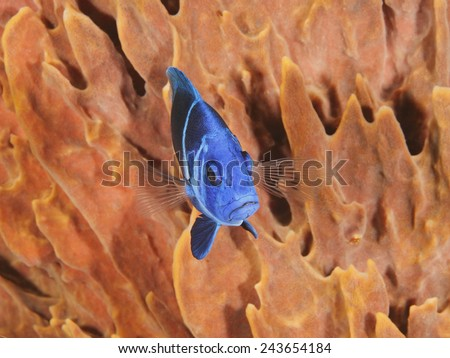 Indigo Hamlet (Hypoplectrus indigo) in Front of a Barrel Sponge - Roatan, Honduras - stock photo