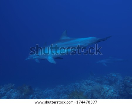 Indo-Pacific Bottlenose Dolphin in Red sea, Egypt, Hurghada