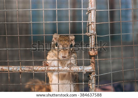 Indochinese ground squirrel trapped(selective focus) - stock photo