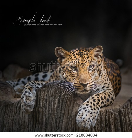 Indochinese Leopard looking for prey - stock photo