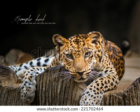 Indochinese Leopard staring prey - stock photo