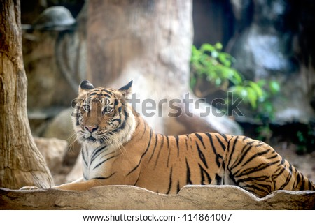 Indochinese tiger or Panthera tigris corbetti laying on a rock