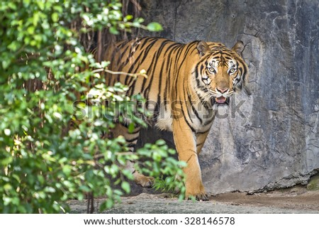 Indochinese tiger (Panthera tigris corbetti) Tierpark Berlin - stock photo