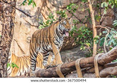 Indochinese tiger species in the zoo, Thailand. - stock photo