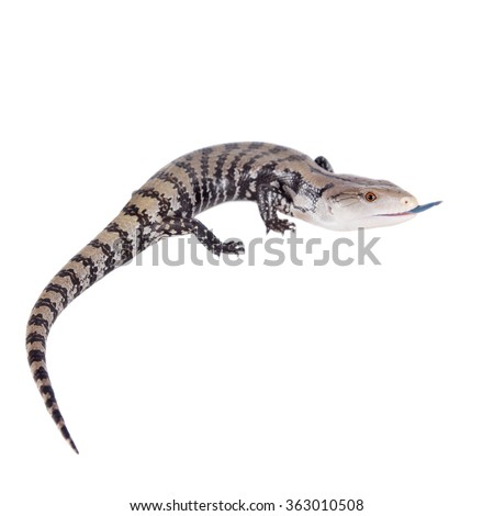 Indonesian Blue-tongued Skink, Tiliqua gigas, isolated on white background. - stock photo