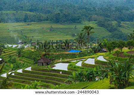 Indonesian rice field